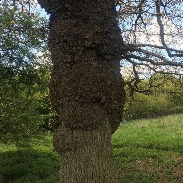 You don't find many bur oak like this