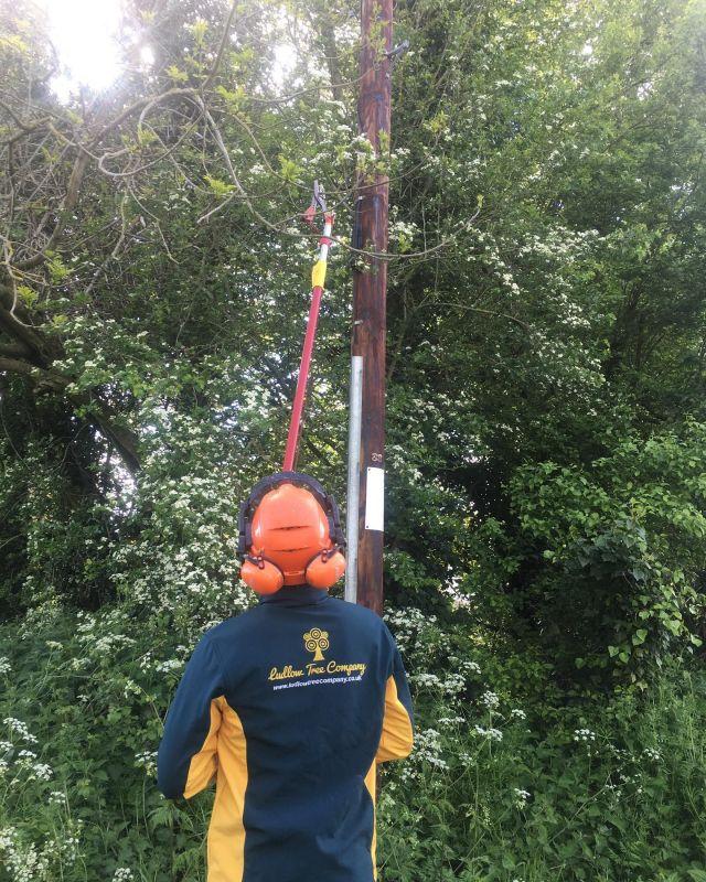 Bit of light pruning for BT today #treesurgeryinherefordshire